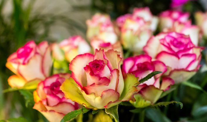 wunderschöne Rosen creme pink